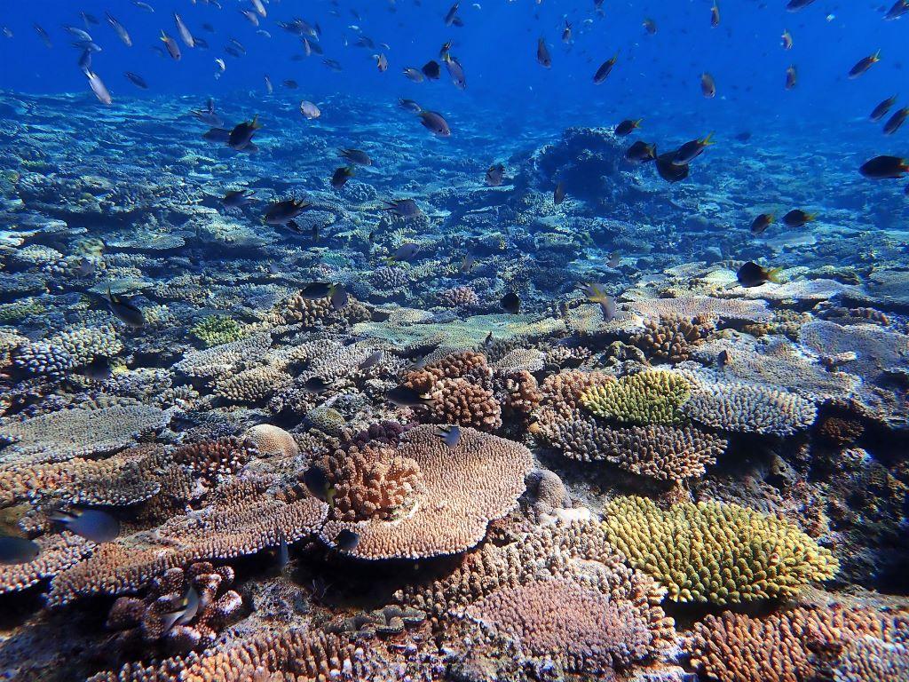 沖縄ファンダイビング 万座サンゴ