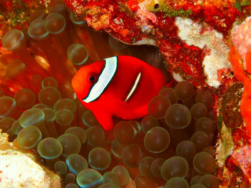 沖縄ファンダイビング ハマクマノミ幼魚
