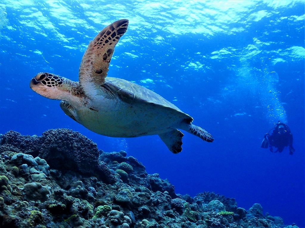 沖縄ファンダイビング アオウミガメ